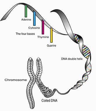 y chromosome structure  ... chromosome and only males